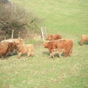 Highland-Rinder